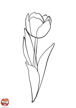 Coloriage: Tulipe
