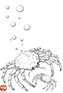 Araignée de mer et son bébé