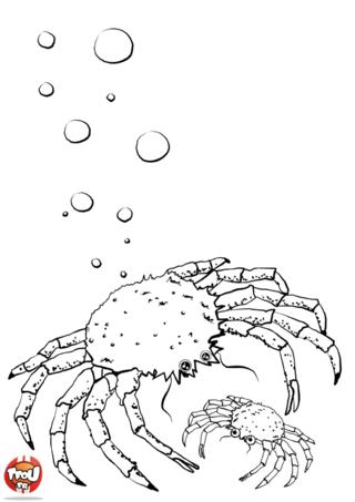 Coloriage: Araignée de mer et son bébé