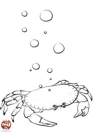 Coloriage : Tiens un Crabe qui fait des bulles, c'est rigolo ! Attention à ne pas te faire pincer les doigts en imprimant ce coloriage de crabe.