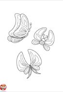 Papillons d'Océanie