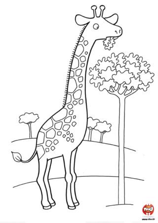 Coloriage : La girafe mange. C'est facile pour une girafe de manger les feuilles d'un arbre, avec son long cou elle n'a pas de problème à atteindre le haut de l'arbre. Imprime vite ce joli coloriage et ajoute les couleurs de ton choix.