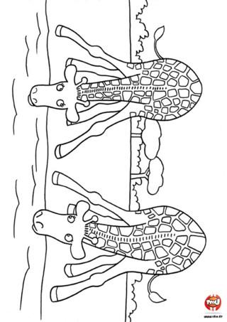 Coloriage : Les girafes se désaltèrent. Imprime vite ce coloriage de deux girafes qui se désaltèrent dans un lac et amuse toi à ajouter les couleurs de ton choix.