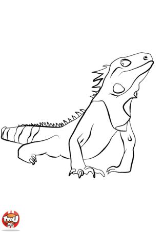 Coloriage: Iguane