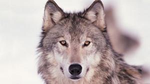 Coloriage Loup