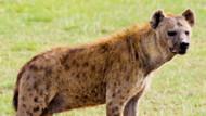 Coloriage Hyène