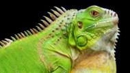 Coloriage imprimer coloriage en ligne gratuit tous les coloriages tfou - Coloriage iguane ...