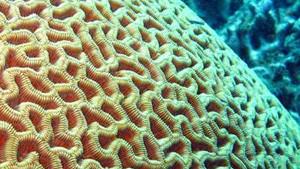 Coloriage Corail