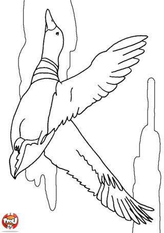 Coloriage: Canard en vol