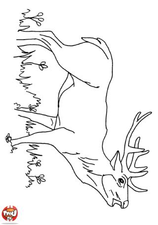 Coloriage: Cerf qui brâme