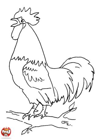 Coloriage: Coq sur une branche