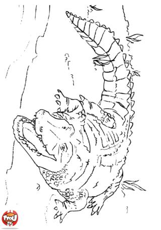 Coloriage: Crocodile