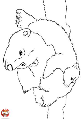 Dessin ours polaire blanc - Comment dessiner un ours ...